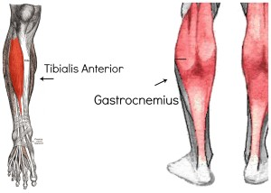 To stop the gastrocnemius (calf) muscle from firing, you have to engage the tibialis anterior muscle.